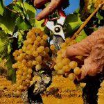 les vinyes de garnatxa blanca de celler arrelats